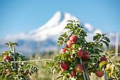 Kiyokawa Apple Orchard