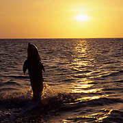 Bottlenose Dolphin (Tursiops truncatus) jumping at sunset in the Gulf of Mexico near Honduras.  Captive Animal.