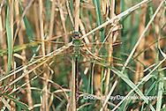 06361-001.06 Common Green Darner (Anax junius) female in wetland, Marion Co. IL