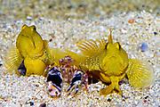 Pair of Yellow Watchman Goby (Cryptocentrus cinctus) with their commensal pistol-shrimp (Alpheus sp.).