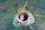 Sand Perch (Diplectrum formosum) eating a crab near the Blue Heron Bridge in Singer Island, FL.