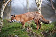 Red fox standing in woods.<br /> mammals<br /> nature<br /> wildlife<br /> Surrey<br /> UK