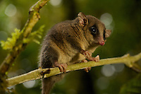 Long-tailed Pygmy-Possum (Cercartetus c.f. caudatus).  Possible new species for the Foja Mts.