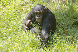 Chimpanzee In Grass, Los Angeles Zoo