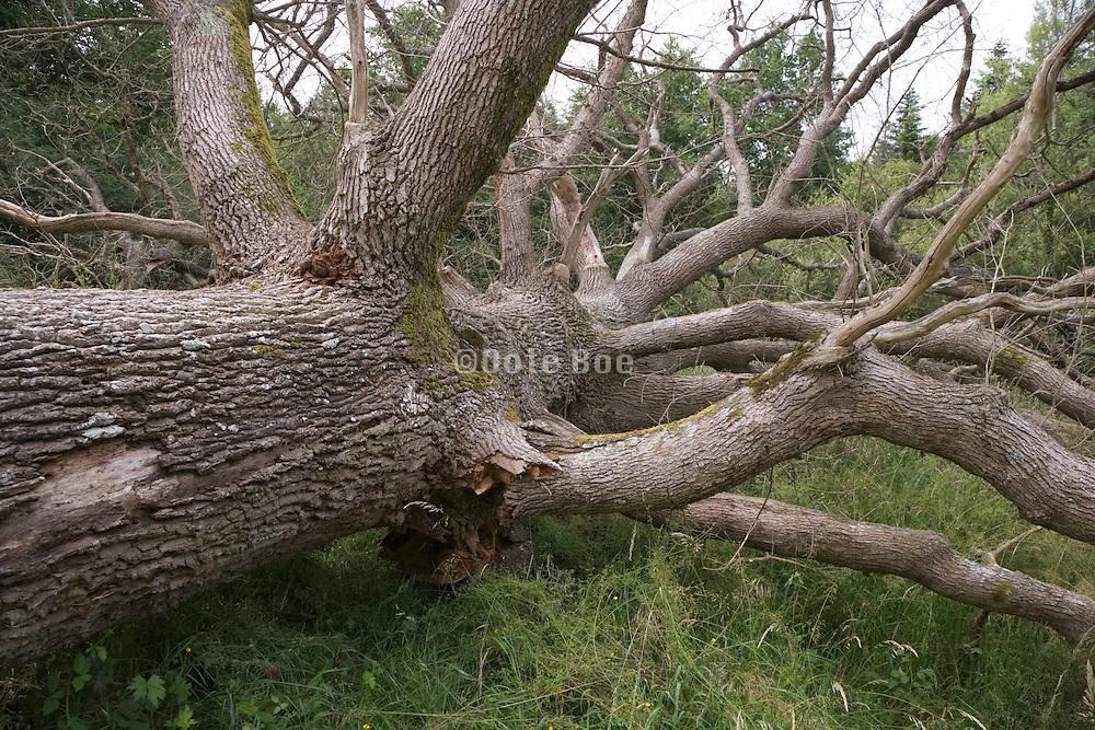 large dead fallen over tree