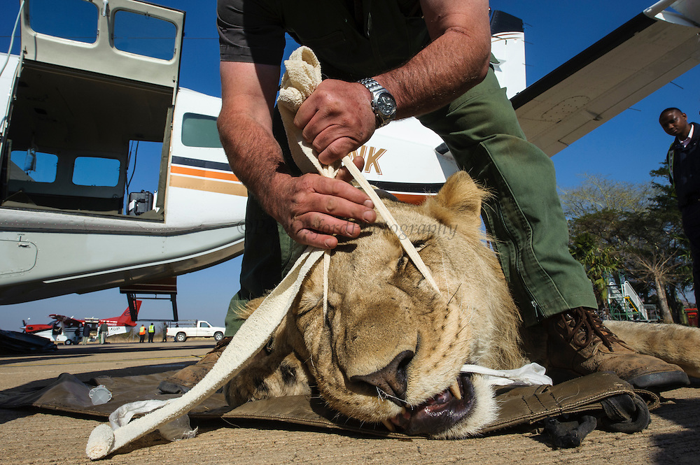 Lion darted for relocation to Malawi (Panthera leo)<br /> Veterinarian Andre Uys and anaesthetized lion for flight transportation<br /> Pilansberg Game Reserve<br /> North West Province<br /> SOUTH AFRICA