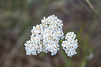 Common Yarrow is one of the most common members of the aster family in all of the northern hemisphere. This one was photographed up close in the desert scrub in the Yakima, Washington area.