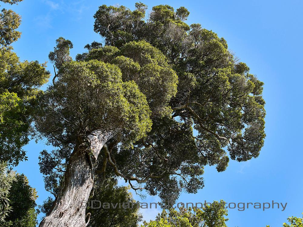 New Zealand Native bush, Totora tree