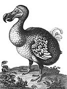 Didus The Hooded Dodo [The dodo (Raphus cucullatus) is an extinct flightless bird that was endemic to the island of Mauritius, east of Madagascar in the Indian Ocean. The dodo's closest genetic relative was the also-extinct Rodrigues solitaire, the two forming the subfamily Raphinae of the family of pigeons and doves]. Copperplate engraving From the Encyclopaedia Londinensis or, Universal dictionary of arts, sciences, and literature; Volume V;  Edited by Wilkes, John. Published in London in 1810