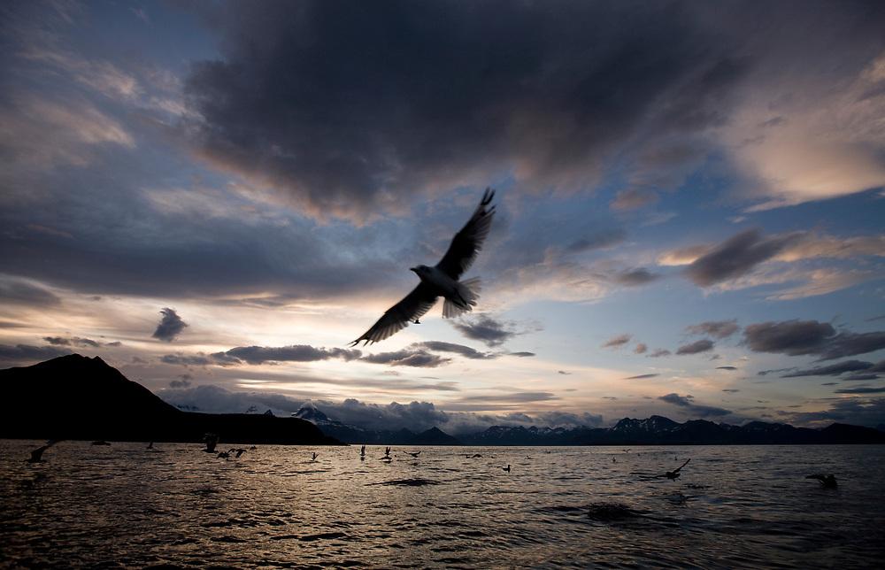 USA, Alaska, Katmai National Park, Seabirds at sunset along Cape Nukshak in Hallo Bay
