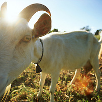 Dairy goat at Kervella Cheese