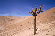 Cadelabra Cactus in  Desert<br />Browningia candelaris<br />Atacama Desert, CHILE  South America