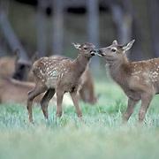 Elk, (Cervus elaphus) group of calves stay close together. A few practicing dominance posture. Early summer.