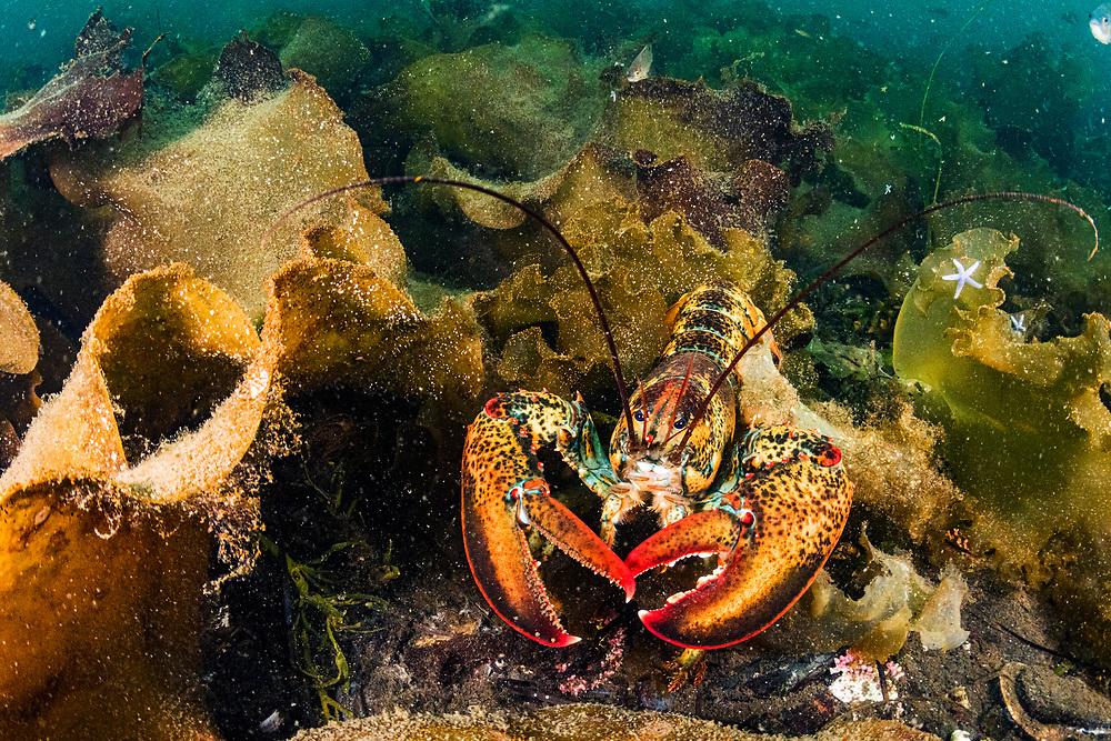 American lobster (Homarus americana) hiding in kelp off Newfoundland, Canada