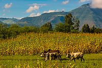 Medenes cows grazing, with field of Maize and mountains behind, Amhara region, Ethiopia.