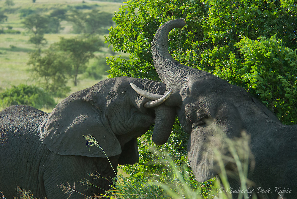 Young male African elephants practice fighting.