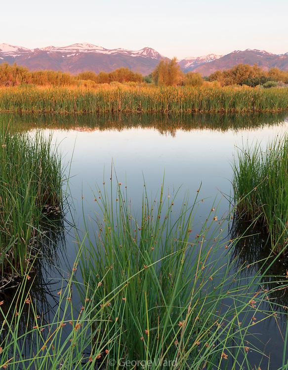Dechambeau Ponds and Bulrush at Dawn, Mono Basin National Forest Scenic Area, California
