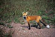 Red fox (Vulpes vulpes)  <br />Thunder Bay<br />Ontario<br />Canada