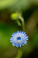 Blue flower, maybe a corn flower, growing in the  Wuliangshan Nature Reserve, Mount Wuliang Nature Reserve in Jingdong county, Yunnan, China