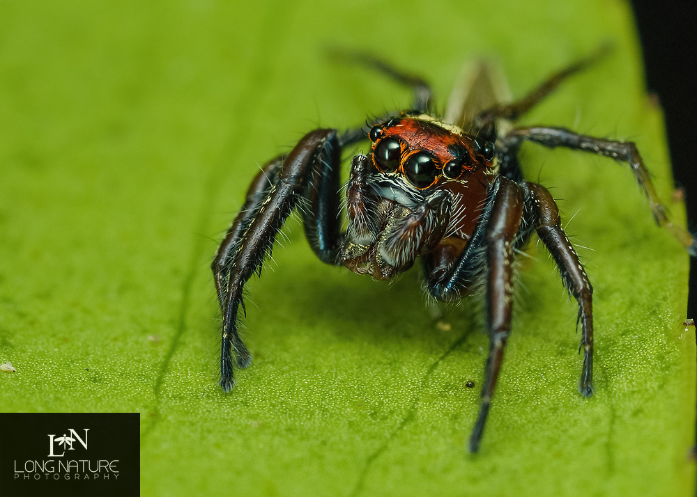 Colonus sylvanus - jumping spider. Photographed in Lady Lake FL USA on a camilia bush.