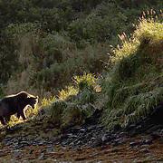 Alaskan Brown Bear (Ursus middendorffi) Adult walking along embankment, backlit. Katmai National Park. Alaska.