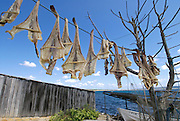 """Formentera's dried fish - Peix Sec de Formentera, in Torrent de S´alga. According to the traditional method, local fish varieties of skate are dried in the sun and wind, hanged in the local tree called """"sabina"""" (Juniperus phoenicea turbinata)"""