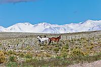 CABALLOS EN LA ESTEPA Y ALAMBRADO, CORDILLERA DE LOS ANDES CON NIEVE AL FONDO, RUTA 150 CAMINO A DIQUE AGUA DEL TORO, SAN RAFAEL, PROVINCIA DE MENDOZA, ARGENTINA  (PHOTO © MARCO GUOLI - ALL RIGHTS RESERVED)