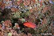 vermillion rock cod, coral rock cod, or coral cod, Cephalopholis miniata, and regal angelfish, Pygoplites diacanthus, under coral ledge, Rainbow Reef, North Male Atoll, Maldives ( Indian Ocean )