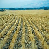 Harvested rows of wheat fan out in the southern  Gallatin Valley near Bozeman, Montana. The background Bridger Mountains are obscured by smoke from distant forest fires.
