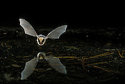 A western long-eared bat (Myotis evotis) flying over a pond in Oregon's high-desert.  Dechutes National Forest.