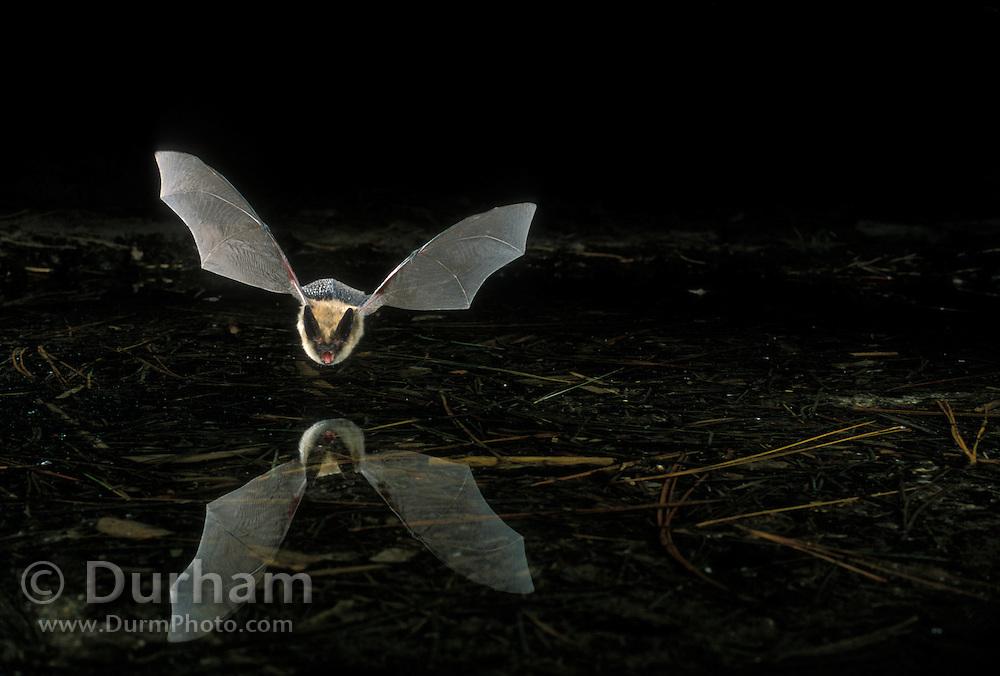A western long-eared bat (Myotis evotis) flying over a pond in Oregon's high-desert.  Dechutes National Forest.
