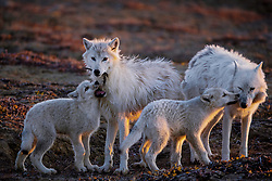A pup bites at a feather while another nuzzles the pack's aging matriarch, White Scarf (far right). After the last known kill she was part of, White Scarf made sure the pups ate first and later disappeared out on the tundra. Ellesmere Island, Canada 2018<br /> <br /> BIO: In 2011, Ronan Donovan was researching chimpanzees in Uganda's Kibale National Park for Harvard professor Richard Wrangham when he realized that his true passion lies in visual storytelling. The images he made during that year in Uganda helped him establish a career as a conservation photographer. Part of his work involved climbing fig trees to observe the chimps, and he brought his camera with him, creating a series of photographs of the primates from above. These images put Ronan on National Geographic's radar, and in 2014 he began a yearlong assignment on Yellowstone's gray wolves, which was published in the May 2016 issue of National Geographic Magazine. Ronan continues his work surrounding human coexistence with large predators from his home in the Northern Rockies. <br /> <br /> WEBSITE: ronandonovan.com<br /> INSTAGRAM: @ronan_donovan