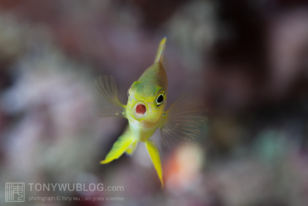 Pretty little yellow Ambon damselfish facing the camera with its mouth wide open. Photographed at Gotoi Bay in Milne Bay, Papua New Guinea.