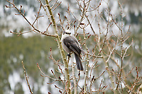 Canada or Gray Jay in Rocky Mountain National Park