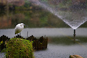 Little egret at a pond in the Peace Park, Taiepi