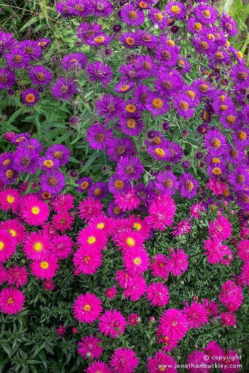 Symphyotrichum novae-angliae 'Violetta' syn. Aster novae-angliae 'Violetta'  with Symphyotrichum novae-angliae 'Septemberrubin' syn. Aster novae-angliae 'September Ruby' - New England Asters