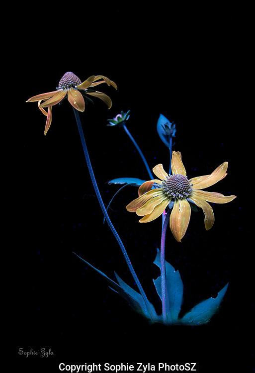 Cut-leaf Coneflower in UV