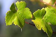 Chateau Mire l'Etang. La Clape. Languedoc. Vine leaves. France. Europe.