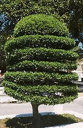 Tree or bush trimmed into decorative pattern in Havana; Cuba,