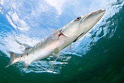great barracuda, .Sphyraena barracuda, .Lewis Cut, Biscayne National Park, .Florida (Atlantic).