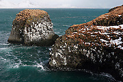 Basalt cliffs make excellent nesting spots for kittiwakes, at Arnastappi, along the southern coast of the Snaefellsnes Peninsular in Western Iceland