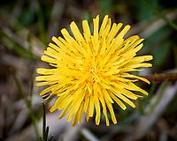 Dandelion. Image taken with a Nikon 1 V3 camera and 70-300 mm VR lens.