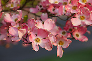 USA, Oregon, Keizer, flowering Dogwood in neighborhood.