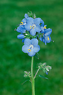 JACOB'S-LADDER Polemonium caeruleum (Polemoniaceae) Height to 1m. Attractive, upright perennial of grassy places and scree slopes in limestone areas. FLOWERS are 2-3cm across and bright blue with 5 petal-like corolla lobes; in spikes (Jun-Jul). FRUITS are capsules. LEAVES are alternate and pinnate with 6-12 pairs of leaflets. STATUS-Locally native in N England; naturalised elsewhere.