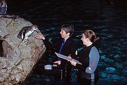 Feeding Emperor Penguin, New England Aquarium