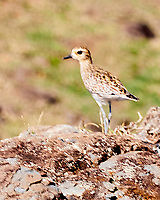 Pacific Golden-Plover (Pluvialis fulva). Ohai Trail. Maui, Hawaii. Image taken with a Nikon D3x camera and 70-300 mm VR lens.