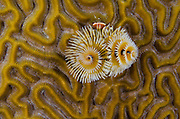 Christmas Tree Worm (Spirobranchus giganteus) on Grooved Brain Coral (Diploria labyrinthiformis)<br /> BONAIRE, Netherlands Antilles, Caribbean<br /> HABITAT & DISTRIBUTION: Shallow & mid-range coral reefs, walls and rocky areas. <br /> Florida, Bahamas & Caribbean.