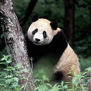 Giant Panda, (Ailuropoda melanoleuca) In tree. Wolong Natural Reserve. Sichuan,China.  Captive Animal.