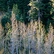 Aspen trees in sunrise light getting ready to bloom in spring.
