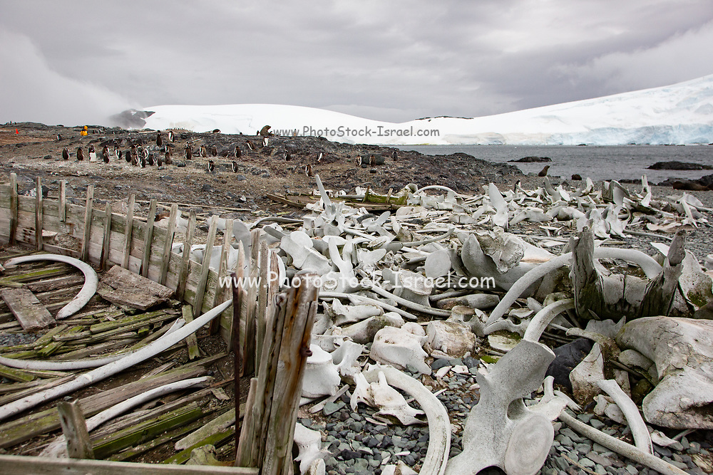 Skeletons of slaughtered whales over the last century. Photographed in Antarctica